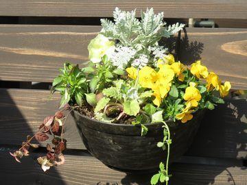 黄色いビオラやルブスを使ったハンギングの寄せ植え