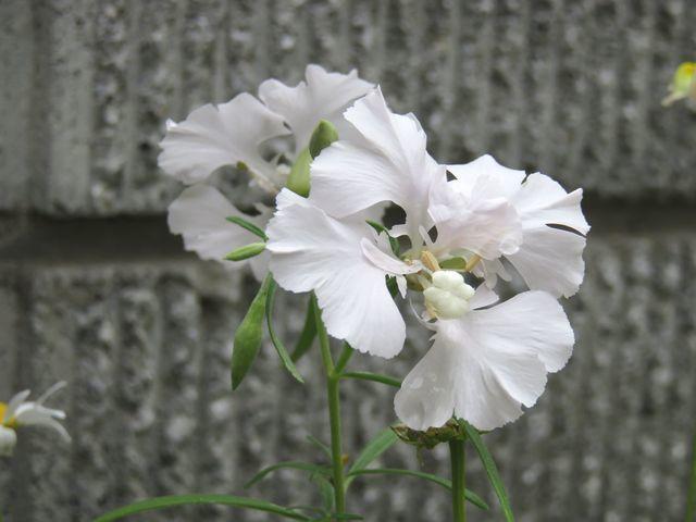 クラーキア・プルケア白花