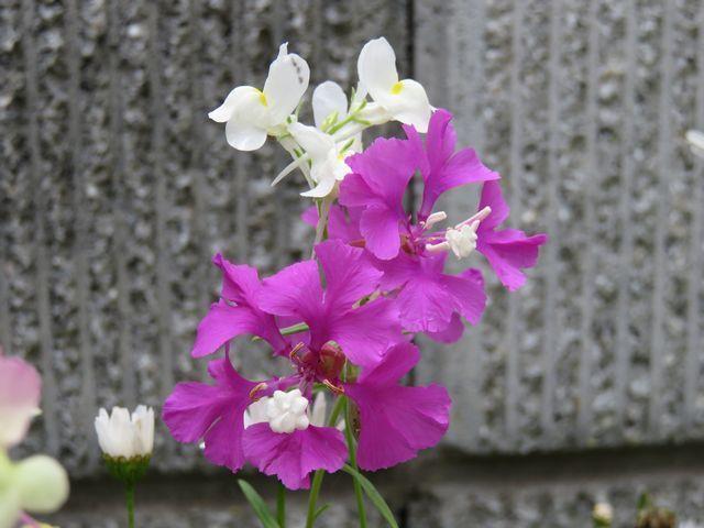 クラーキアプルケラ、クラーキアプルケア、ホソバサンジソウの花