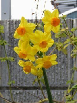 黄色い水仙の花