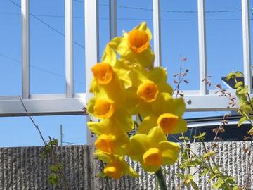 青空と水仙の花