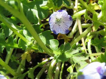 ネモフィラ・マキュラータの花
