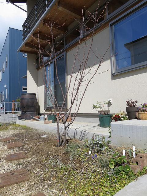 玄関先に植えたジューンベリーの木