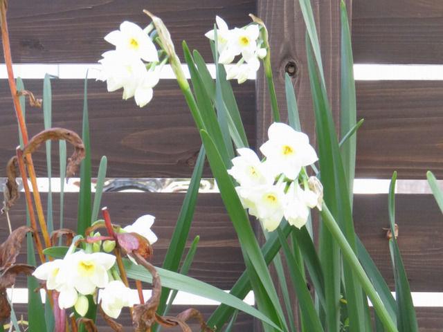 日本水仙の花