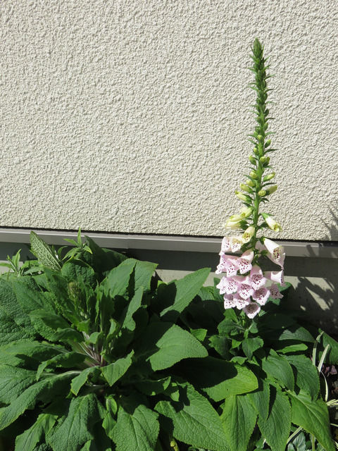 花壇のジギタリス