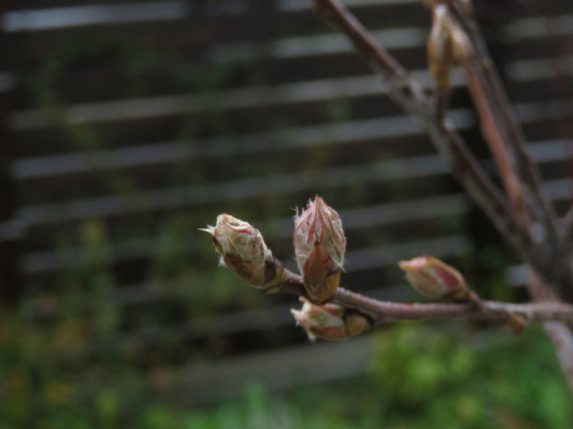 ジューンベリーの新芽のアップ