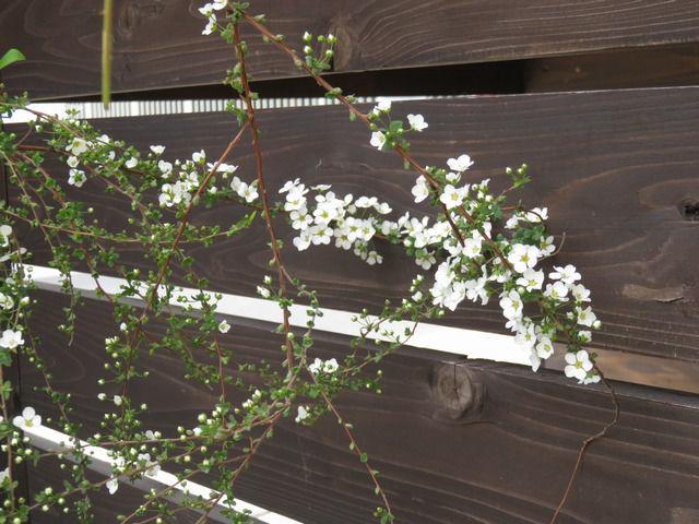 ユキヤナギの花のアップ