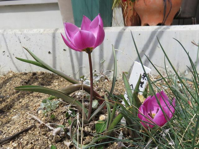 原種チューリップヘレナの開花