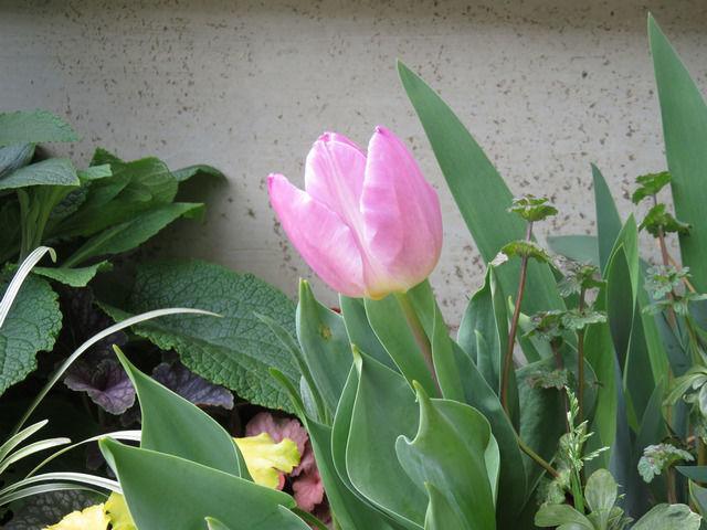 花壇に植えたピンクのチューリップ