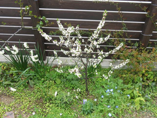 7分咲きのユスラウメの様子