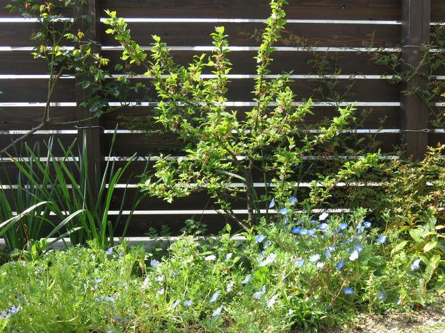 庭の様子 ユスラウメとネモフィラ