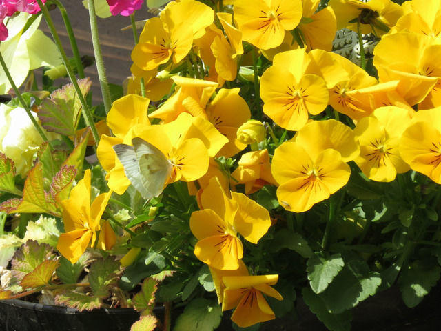 黄色いビオラとシジミチョウ