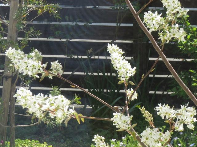 ジューンベリーの白い花