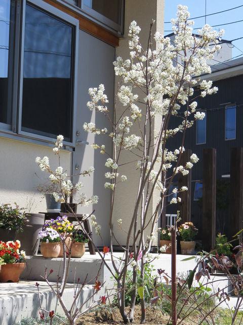 花を咲かせたジューンベリー