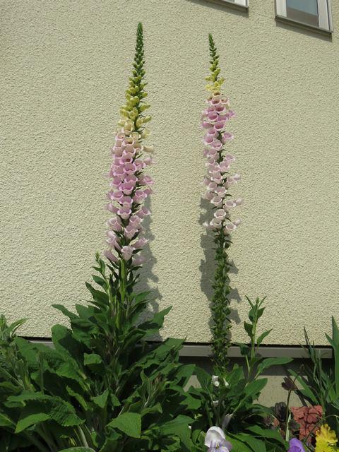 花壇のジギタリスピンク色