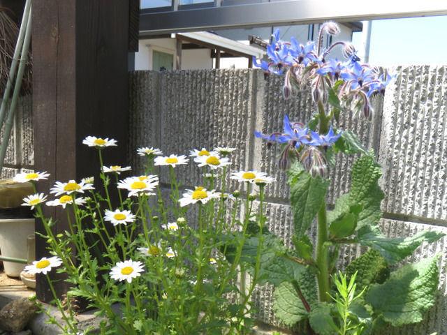 ボリジとノースポールの花