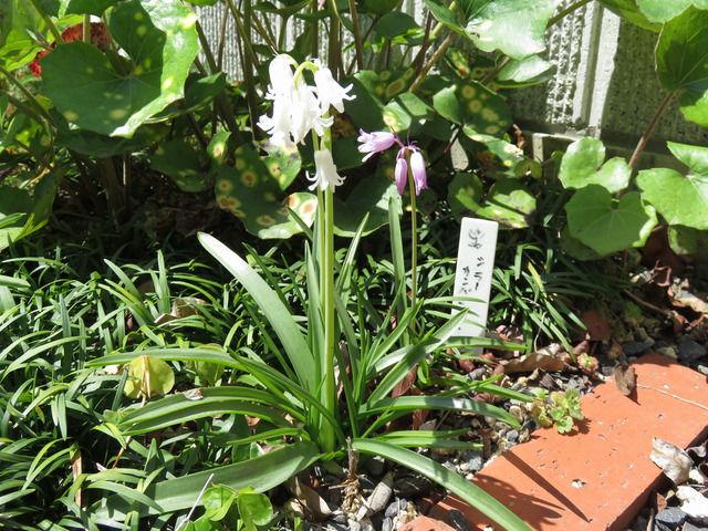 シラー・カンパニュラータの花