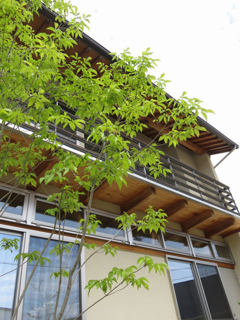 落葉トネリコの新緑