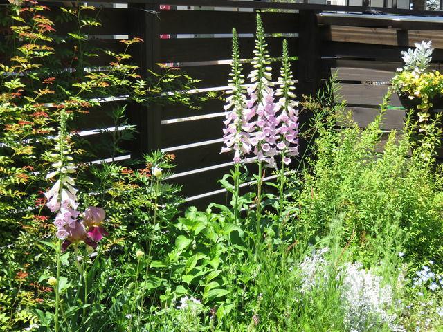 ジギタリスが咲いている庭の様子
