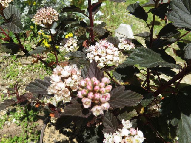 ディアボロの花のアップ