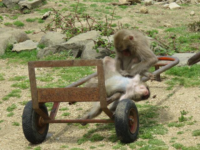 ノミ取りをしてくつろぐ猿