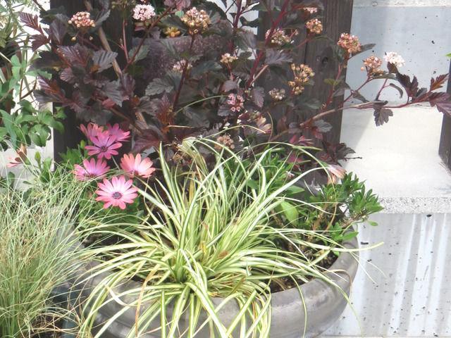 アメリカテマリシモツケディアボロとオステオスペルマムとベアグラスを使った寄せ植え