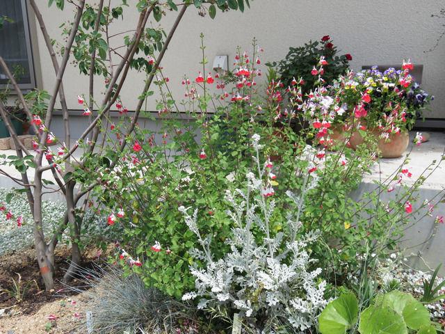 チェリーセージの花が咲いている玄関先の植栽