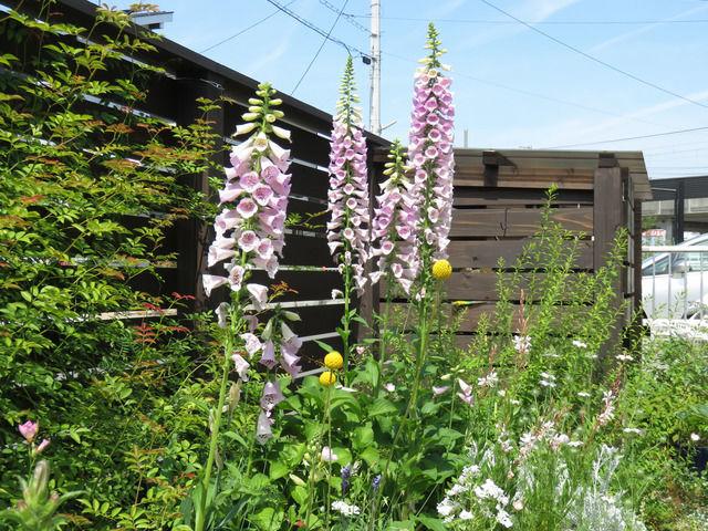 ジギタリス キャメロットラベンダーの花