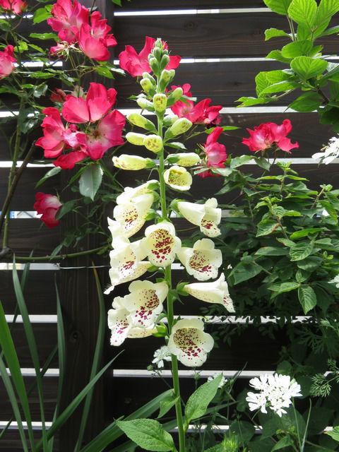 ジギタリス キャメロットクリームの花