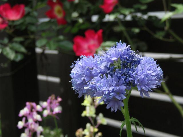 ギリア・カピタータの花