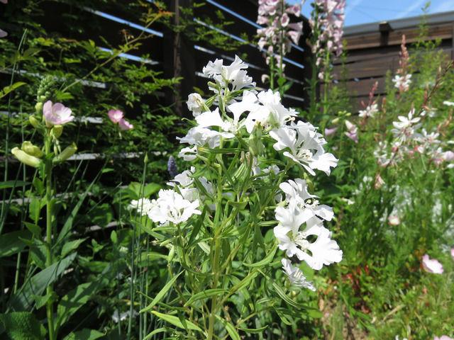 クラーキア・プルケラの白い花
