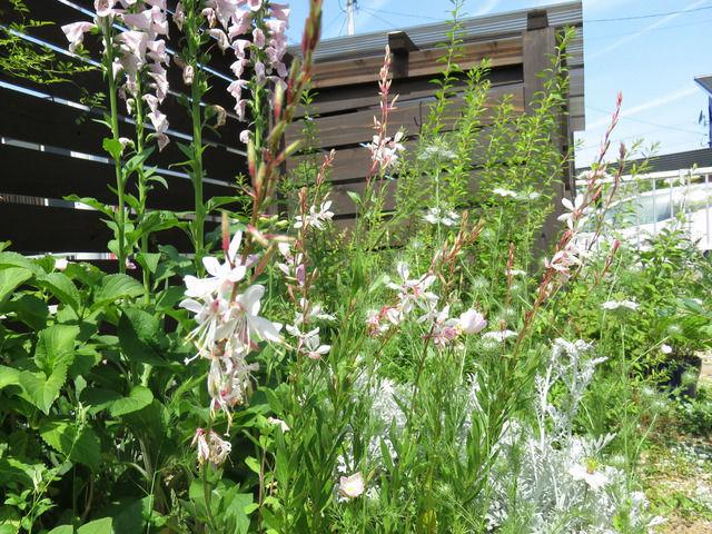 白いガウラの花