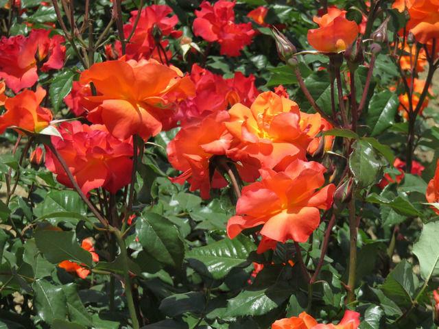 RSKバラ園のバラ プリンセスミチコ