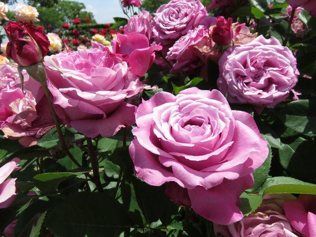 RSKバラ園のバラ ブルーパーフューム