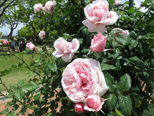 RSKバラ園のバラ ナエマ