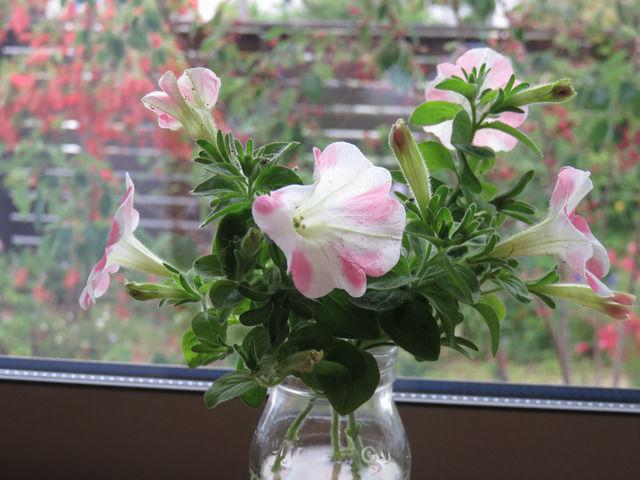 ピンクと白のストライプのペチュニアの花