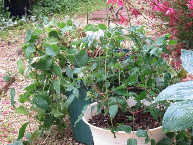 クレマチスの植木鉢が2つ並んだ様子