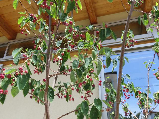 赤く実ったジューンベリーの木