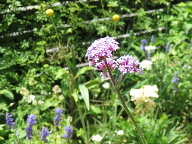 三尺バーベナの花のアップ