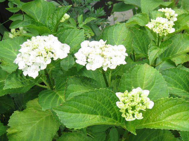 白いアジサイの花の画像