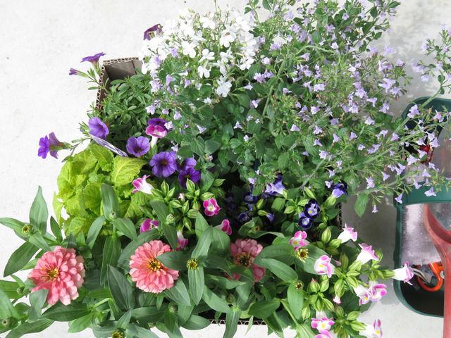 購入した夏の花たち