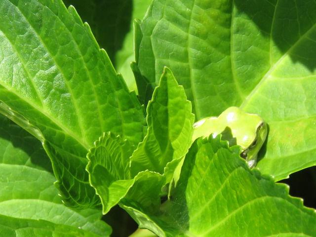 アジサイの葉っぱで寝ているアマガエル