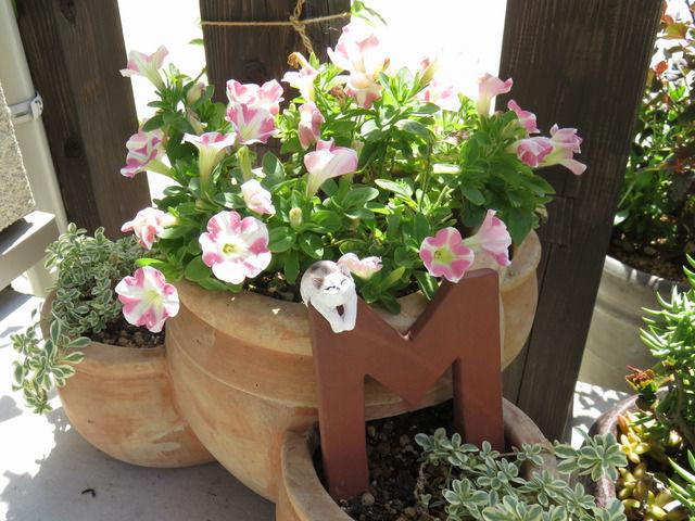 白とピンクのストライプのペチュニアの寄せ植え
