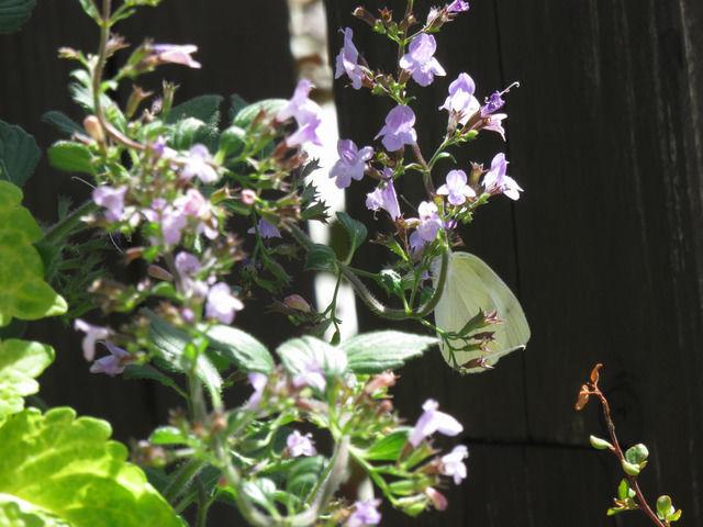 モンシロチョウとカラミンサ ネペタの花