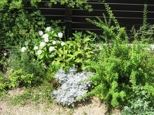 2019年6月の庭 アジサイとシロタエギクの植栽