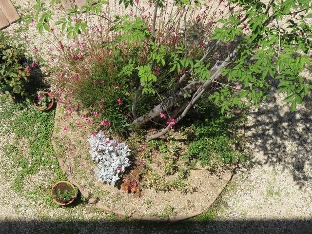 2019年6月の庭 トネリコの植栽