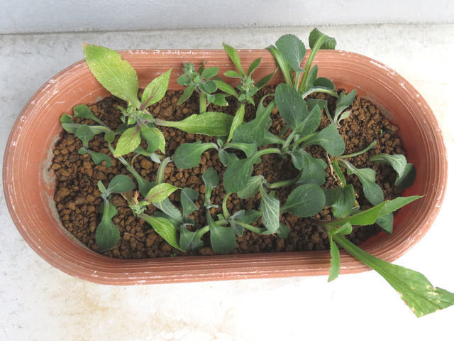 10日後のジギタリスの挿し芽の様子