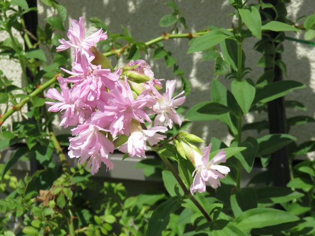 八重のソープワートの花