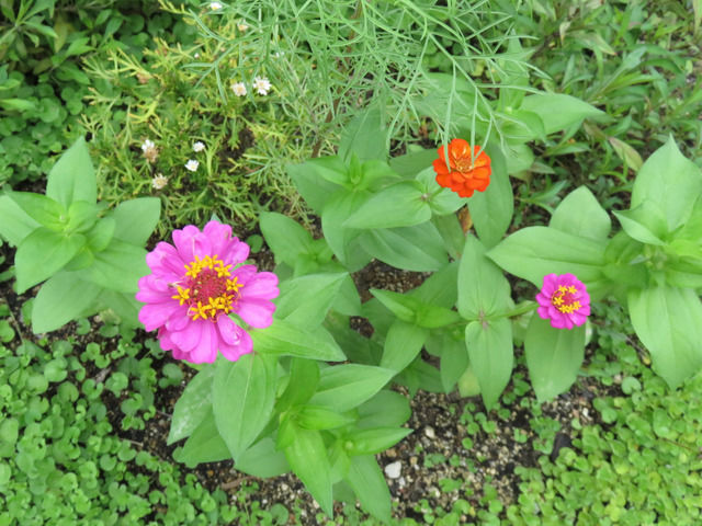 種蒔きから育ったジニアの花