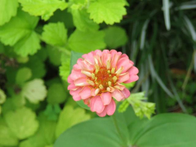 種蒔きジニア 八重咲